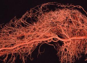 Abb. 2: Arterielle Versorgung der Dermis.