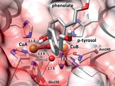 Blick in das katalytische Zentrum einer Tyrosinase: Die zwei Aminosäuren Glu235 und Asn240 fixieren ein Wassermolekül HOH112, das dem Substrat (p-Tyrosol) ein Proton entreißt (weiß). Das entstandene Phenolat kann nun an das Kupferion (CuA) binden und die Tyrosinase-Reaktion starten. Abb./©: Institut für Molekulare Biophysik, JGU
