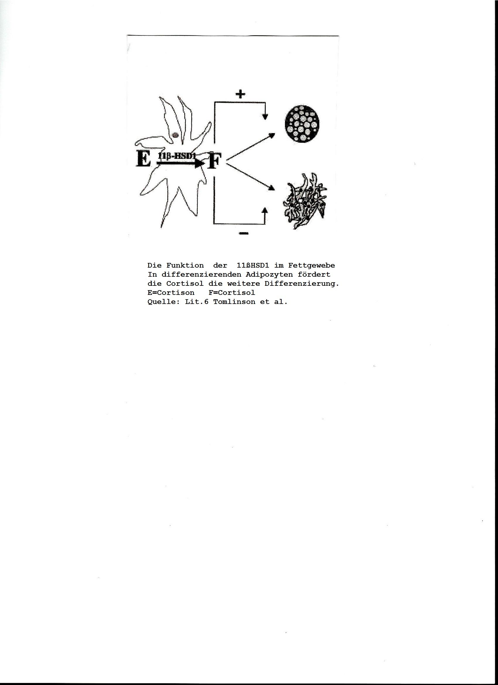 Abb. 1: Die Funktion der 11βHSD1 im Fettgewebe. In differenzierenden Adipozyten fördert Cortisol die weitere Differenzierung. E=Cortison, F=Cortisol. Quelle: Tomlinson et al. [6].