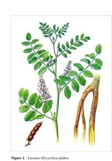 Abb. 2: Lakritz (Glycyrrhiza glabra).